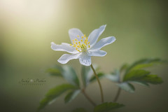 Anemone nemorosa (Jacky Parker Floral Art) Tags: white flower macro sunshine closeup woodland outdoors spring nopeople wildflower freshness springtime selectivefocus naturephotography macrophotography anemonenemorosa 2016 floralart woodanemone beautyinnature horizontalformat flowerphotography focusonforeground