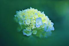 New Hope (lfeng1014) Tags: flower macro closeup dof bokeh depthoffield hydrangea newhope macrophotography  lifeng canon5dmarkiii 100mmf28lmacroisusm