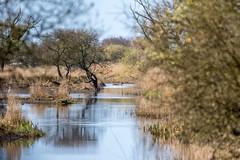Deer-1 (worlknut) Tags: reed water moss beds deer leighton