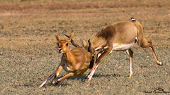 Hot Pursuit. . (Rakesh Kumar Dogra) Tags: mammals rakesh naturephotography rutting blackbuck rakeshkumardogra