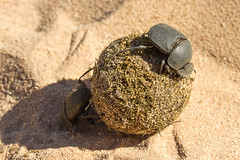 Dung Beetle (Scarabaeidae Coleoptera) (Kev Gregory (General)) Tags: africa mountain game mountains macro field river way private african district south beetle reserve sigma safari brooding guide shaun 50500 rollers monday gregory kev milky chambers chafer feces dung limpopo scarab waterberg coleoptera dwellers jenkinson scarabaeidae tunnelers tumblebug thabazimbi geotrupidae marakele scarabaeinae aphodiinae motlhabatsi