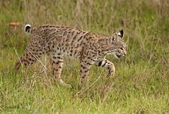 BOBCAT (sea25bill) Tags: california morning sun nature animal cat feline wildlife bobcat habitat carnivore lynxrufus