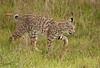 BOBCAT (sea25bill) Tags: california morning sun nature animal cat feline wildlife bobcat habitat carnivore lynxrufus