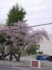Good Morning from My Window. April 26, 2016 (fukapon) Tags: people pentax aomori hirosaki smc f28 tweet 青森 75mm 弘前 sghs smcpfa64575mmf28 pentaxfa645 flickrandroidapp:filter=none 645z goodmorningfrommywindow