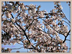 """A close-up of lovely Springtime cherry blossoms which create beautiful memories."" (martian cat) Tags: japanesecherryblossoms yokohama japan martiancatinjapan allrightsreserved allrightsreserved flower nature treeblossoms diamondclassphotographer martiancatinjapan martiancatinjapan martiancatinjapan flickrdiamond allrightsreserved cherryblossom allrightsreserved"