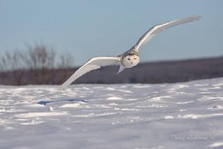 1E1A4698-DL   -   Harfang des neiges (femelle) / Snowy Owl (female).