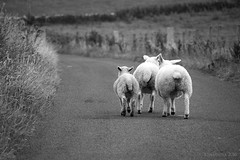 Hit the Road Baaabe (lunaryuna) Tags: road bw monochrome animals scotland blackwhite sheep bokeh domesticanimals lunaryuna runaways orkneys westray rurallandscapes orkneyisles notrafficatall sheepbeauty