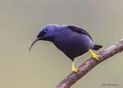 Purple Honeycreeper (sbuckinghamnj) Tags: trinidad asawrightnaturecentre honeycreeper purplehoneycreeper