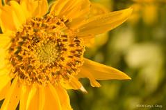 Balsamroot flower, Rowena, Oregon, April 2016 (Gary L. Quay) Tags: tom oregon nikon columbia gorge preserve vivitar rowena mccall balsamroot d300