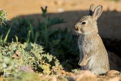 Jeune lapereau (Les Frres des Bois) Tags: de lain lapin garenne crau lapereau lapindegarenne