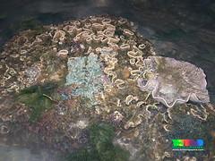 Ruffled disk coral (Turbinaria sp.) (wildsingapore) Tags: nature island marine singapore underwater wildlife stjohns coastal shore intertidal seashore marinelife cnidaria wildsingapore turbinaria scleractinia dendrophylliidae
