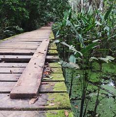 Amazon Boardwalk (amanda_is_wacky) Tags: trees plants green peru southamerica water forest moss amazon rainforest path jungle tropical boardwalk