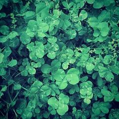 四つ葉のクローバー 画像37