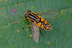 Helophilus pendulus - the Marsh Hoverfly (BugsAlive) Tags: uk macro nature animal insect outdoor wildlife insects wiltshire hoverfly syrphidae diptera hoverflies helophiluspendulus eristalinae liveinsects marshhoverfly