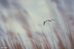 L'Envol...( Trop Tard ;-) ! ) (PascaLucasJy) Tags: bird landscape bretagne breizh paysage extrieur oiseau roseaux hron plandeau nikond7200