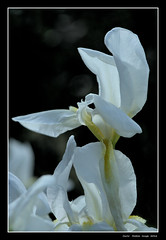 Iris (cienne45) Tags: languageofflowers