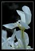 Iris (cienne45) Tags: languageofflowers carlonatale cienne45 natale
