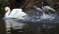 Mute Swan & Greylag (steve whiteley) Tags: bird nature animal wildlife muteswan greylag birdphotography