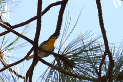 IMG_6869 - Grace's Warbler - 2016.04.10 - Carr Canyon, Sierra Vista, AZ (shawn53558) Tags: county arizona male carr az canyon reef campground cochise warbler graces townsite
