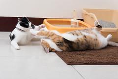 20160330-DSC_0268 (Noelas) Tags: pet 30 cat ed momo nikon taiwan na 03 mo nana nikkor dslr   vr  afs   yunlin 2016 f4g  24120mm 24120  d810   nikond810  yn565ex  nikonafsnikkor24120mmf4gedvr