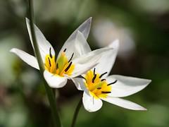 20160404-015F (m-klueber.de) Tags: flora franken tulipa tulpe liliaceae 2016 unterfranken europische turkestanica mainfranken liliengewchse mitteleuropische mkbildkatalog turkestanische 20160404 20160404015f