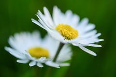 Daisies (Penseroso) Tags: flowers daisies nikond7100 micronikkor40mmf28