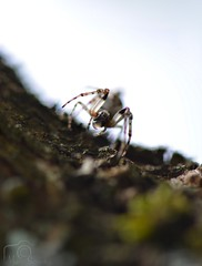 Cyclosa (Marion_Sc) Tags: france macro photography spider nikon photographie paca nikkor var f28 araigne araneae 105mm arachnide araneidae cyclosa conica macrophotographie algerica d5200