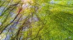 Die ersten Sonnenstrahlen sind wie dein Lcheln. Sie wrmen Herz und Seele. (CoyoteFotos) Tags: sun trekking laub natur grn sonne bume baum wandern sonnenstrahlen wal frhling sonnenschein strahlen