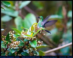 PURPLE-BACKED THORNBILL (hummingbird) FEMALE Ramphomicron microrhynchum at the Yanacocha Reserve on Volcn Pichincha in ECUADOR. Hummingbird Photo by Peter Wendelken. (Neotropical Pete) Tags: ecuador hummingbird colibri trochilidae picaflor pichincha thornbill chupaflor ecuadorbirds southamericanbirds neotropicalbirds yanacochareserve ramphomicronmicrorhynchum purplebackedthornbill ecuadorhummingbirds ramphomicron peterwendelken hummingbirdphotobypeterwendelken southamericanhummingbirds yanacochahummingbirds andeanhummingbirds picoespina purplebackedthornbillfemale purplebackedthornbillinecuador purplebackedthornbillatyanacocha purplebackedthornbillhummingbird purplebackedthornbillfeeding picoespinadorsiprpura