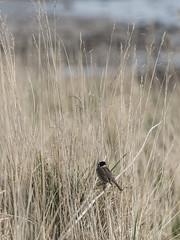 Reed Bunting Elie 003 (KeithProvenArtist) Tags: bird reeds scotland fife coastal elie bunting reedbunting