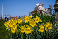 Lazy Sidney Afternoon (Cameron Knowlton) Tags: flowers canada flower color colour colors yellow spring nikon colours bc daffodil sidney daffodils d600
