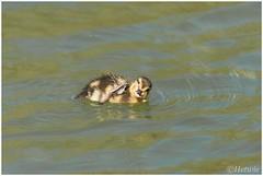 Scratch (HP009687) (Hetwie) Tags: nature duck nederland natuur scratch lente itch eendje noordbrabant krabben voorjaar helmond jeuk brouwhuis