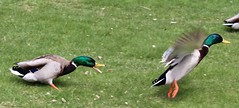 Boys will be boys (jmaxtours) Tags: park toronto centennial duck fight ducks etobicoke mallard drakes centennialpark mallards torontoontario duckfight etobicokeontario
