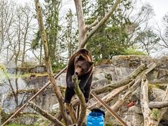 Bear on a tree (lakkot) Tags: bear brown animal mammal zoo stockholm olympus skansen mirrorless em5mkii