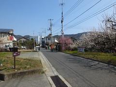 16i5565 (kimagurenote) Tags: apricot ume  japaneseapricot  prunusmume sogabairin   odawarakanagawa