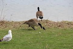 Tough Guy (jmaxtours) Tags: toronto centennial goose toughguy canadagoose centennialpark angrybird centennialparketobicoke