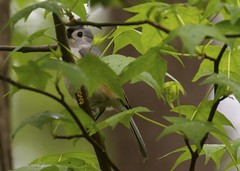 Tufted Titmouse Working Undercover (meg.k.photos) Tags: bird birds wildlife tuftedtitmouse