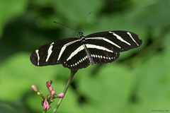 Butterfly 2016-21 (michaelramsdell1967) Tags: wild white black detail green love nature beautiful beauty closeup butterfly garden insect outdoors photography hope nikon focus natural bokeh cincinnati picture butterflies insects bugs photograph zen upclose
