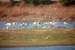 FLAMINGOS AT AMEENPUR LAKE (vsrkrishnan) Tags: birds flamingos mirrorlens manuallens tamaron 500mirrorlens reflectorlens ameenpur shivaramchefshivaram pelicansandpaintedstrokesatameenpurlake