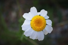 Daisy closeup by ioanna papanikoalaou DSC_1468_2819 (joanna papanikolaou) Tags: flower nature floral colors beautiful field outdoors spring flora pretty natural softness meadow nobody daisy bloom blossoming pure isolated springtime blooming purity