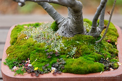 20160413-35-Cherry blossoms at Kyoto Botanic Gardens (Roger T Wong) Tags: travel trees holiday japan kyoto bonsai botanicgardens 2016 canonef70200mmf4lisusm canon70200f4lis canoneos6d rogettwong