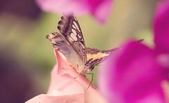 Butterfly (sabrinasteiger1) Tags: flower macro animal butterfly spring bokeh blumen blume makro insekt nahaufnahme tier schmetterling frhling blten flgel schmetterlingshaus