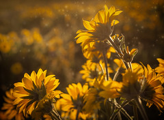 Nature's Bouquet (michellelynn) Tags: oregon sunrise crest wildflowers rowena balsamroot