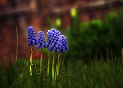 Grape hyacinth (Ali Parandeh) Tags: flowers blue ontario canada green grass canon spring grape hyacinth 70d 1585mm