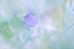 Voile (Mureau A) Tags: flower fleur nikon purple bokeh pastel 150 tc 105 viola d800 violette voile tc14 mureau