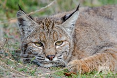 Bobcat Portrait (fascinationwildlife) Tags: california park winter wild portrait usa nature animal female america mammal feline wildlife natur central rufus national valley elusive bobcat lynx pinnacles luchs rotluchs