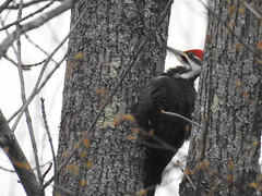 Pileated Woodpecker (RonG58) Tags: pictures new trip travel light usa color bird fall nature birds fauna geotagged photography us photo flora woodpecker nikon day image photos live wildlife birding maine picture images photograph coolpix monmouth digitalcamera migration tori exploration habitat dryocopuspileatus photooftheday picoftheday pileatedwoodpecker breedingplumage birdwalk loiseau natureexploration elpjaro dervogel rong58 nikoncoolpixp900