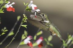 Allen's Hummingbird (603_2756-1) (Best Practices) Tags: california bird hummingbird bestpractices allenshummingbird huntingtonbeachcentralpark