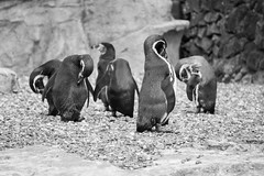Preening Penguins (Sara@Shotley) Tags: white black bird zoo penguin