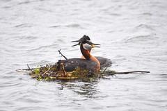 Red necked Grebes (Peter Granka) Tags: male nature female nest pair halton redneckedgrebe bronteharbour granka